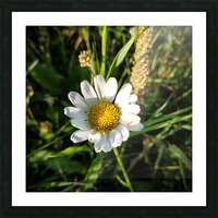 Little daisy in grass Picture Frame print
