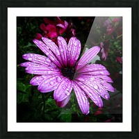Violet flower with raindrops Picture Frame print