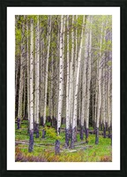Aspens In Banff National Park Picture Frame print