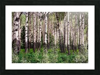 Aspens In Banff National Park at Muleshoe Picture Frame print