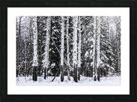 Aspens Snow Blanket Banff National Park Picture Frame print