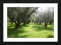 Olive Orchard In Spring Picture Frame print