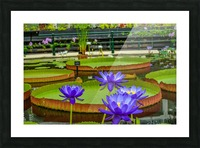 Purple water lily in a pond Picture Frame print