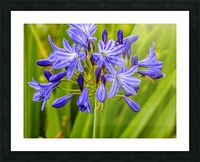 Close up of purple flowers Picture Frame print