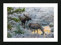 Moose On Golden Pond Picture Frame print