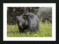 Black Bear With Dandelion Picture Frame print