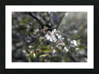 Flowering almonds 2 Picture Frame print