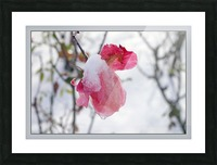 Roses in the snow Picture Frame print