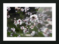 Flowering almonds 1 Picture Frame print