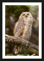 Great Horned Owl Picture Frame print