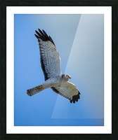 Northern Harrier in Flight Picture Frame print