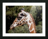 Profile of a Giraffe Picture Frame print