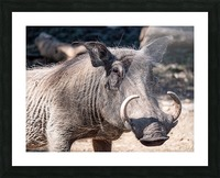 Warthog Close Up Picture Frame print