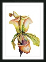 Blooming Paphiopedilum Orchids Picture Frame print