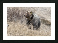 6897 - Grizzly Bear 2160 Picture Frame print