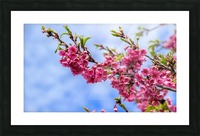 Tree XIII - Cherry tree Picture Frame print