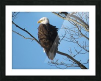 Bald Eagle Sitting on a Branch Picture Frame print