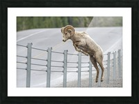 7585 - Bighorn Sheep - Kananaskis Country Alberta. Canada Picture Frame print