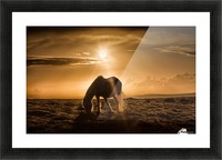 Gower pony at sunset on Cefn Bryn Gower Picture Frame print