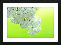 Cool White Lilac On Lemon Lime Picture Frame print