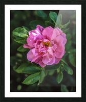 Last Rose of Fall Picture Frame print