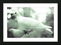 Dove enjoying a meal Picture Frame print