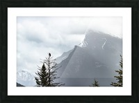Bald Eagle In Banff National Park Picture Frame print