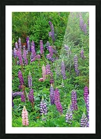 Wild Lupine Spires Picture Frame print