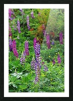 Shades Of Purple Lupine Picture Frame print