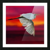Egret in sunset Picture Frame print