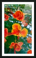 Orange gumamela Picture Frame print