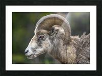 5513 - Big Horn Sheep  Banff National Park Canada Picture Frame print