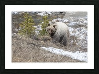 6944 - Grizzly Bear Picture Frame print