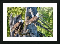 Eagle Tree Picture Frame print