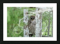 Barred Owl Picture Frame print