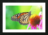 The Beauty Of The Monarch Butterfly Picture Frame print