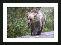 0037 - Grizzly Bear with Dandelions in Banff National Park Canada. Picture Frame print
