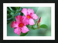 Mandevilla In Pink Picture Frame print