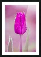 Pink Tulip II Picture Frame print