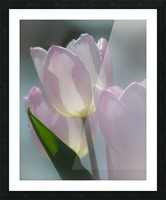 Pale Pink Tulips Picture Frame print
