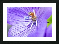 Pollinating Bee Picture Frame print