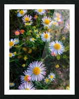 Daisies in Brackettville TX  Picture Frame print