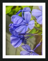 Purple Flowers Picture Frame print