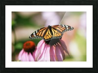 Closeup Butterfly on Cone Flower Picture Frame print