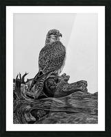 Gyrfalcon Picture Frame print