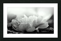 Heavenly Peony Black and White Picture Frame print