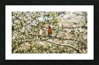 Robin Sitting on Branch Picture Frame print