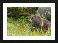 Grizzly Bear Sow 142  IMG_5130 Picture Frame print