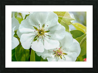 Pear Blossom - No. 1 Picture Frame print