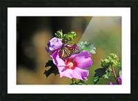 Monarch And Rose Of Sharon Picture Frame print